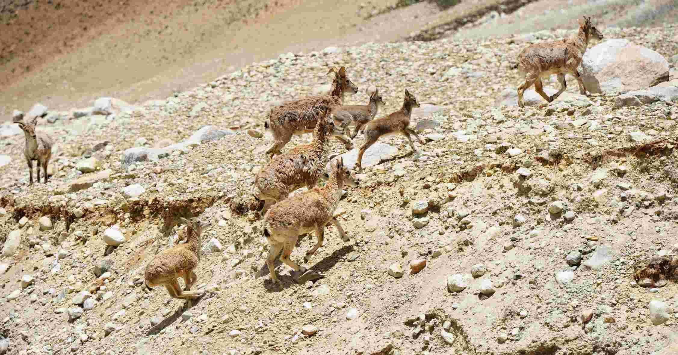新华社照片,定日(西藏),2015年8月5日   珠峰大本营景区:邂逅岩羊   珠峰大本营旁一群岩羊在上坡(7月27日摄)。   7月27日,记者在海拔5200米的珠峰大本营采访,邂逅一群岩羊在小溪里饮水后自由自在地穿行公路。   据珠穆朗玛峰国家级自然保护区管理局普琼介绍,自1988年3月管理局成立以来,乱捕滥猎野生动物明显减少,绝大多数保护物种范围不断扩大、种群数量得以恢复性增长。以国家二级重点保护野生动物岩羊为例,27年间种群数量增长40%左右。   新华社记者 张汝锋 摄