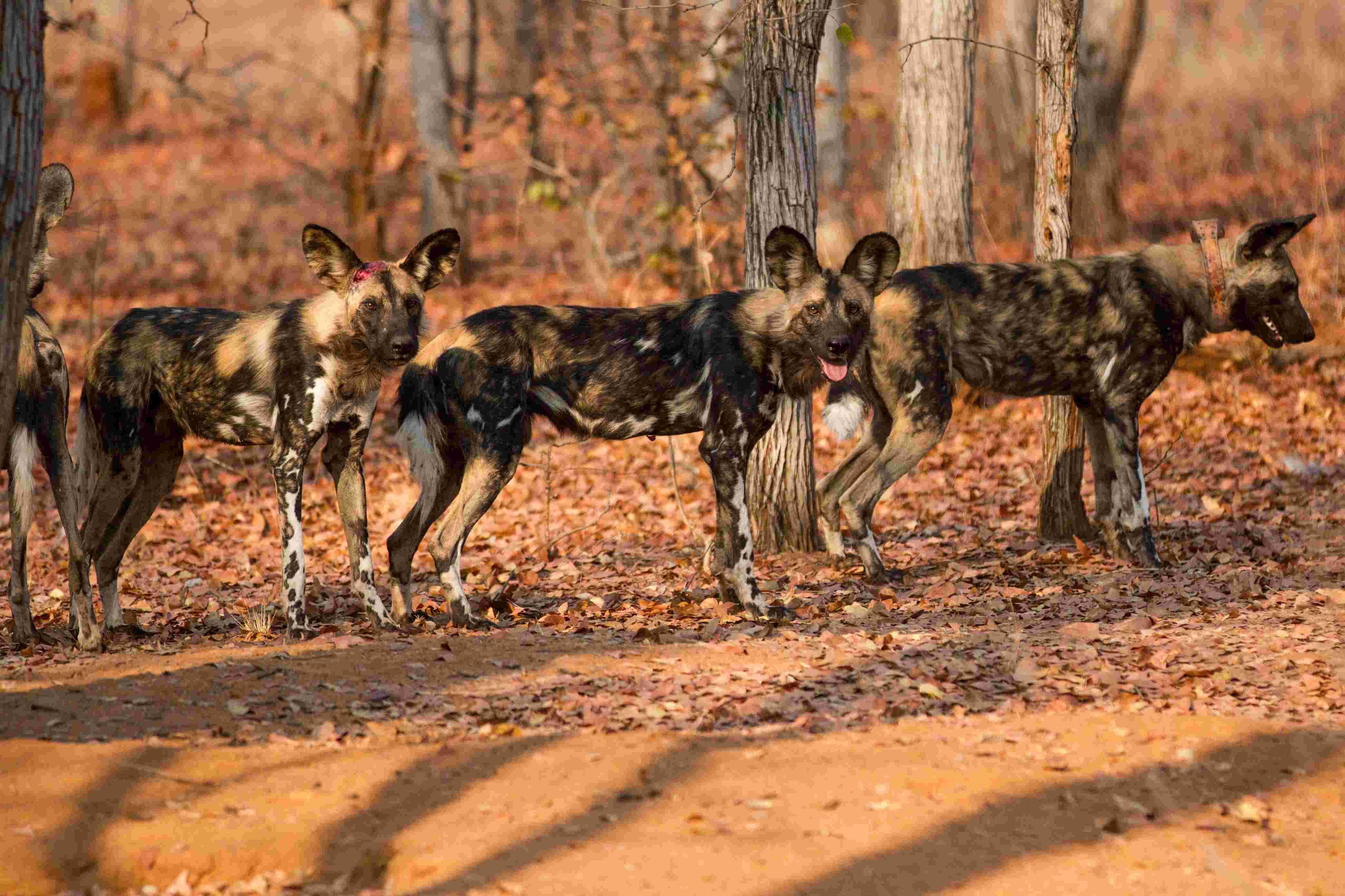 非洲野狗是群居动物,通常10余只组成一群