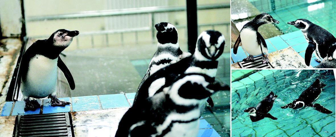 右下图为顽皮的企鹅宝宝游泳,企鹅妈妈尾随护卫.