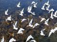 甘肃黄河三峡群鸟舞翩翩